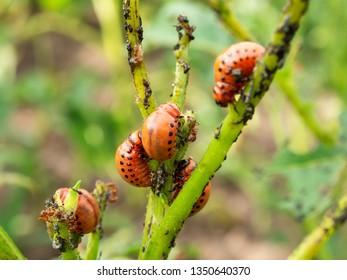 Beetle Larva Images Stock Photos Vectors Shutterstock