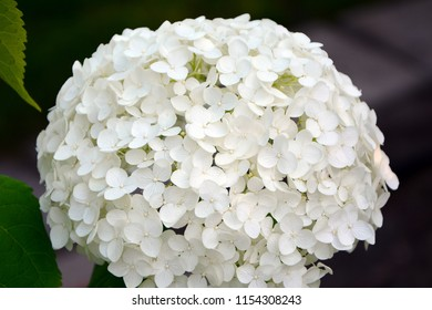 Numerous delicate white hydrangea flowers are collected in a huge inflorescence.