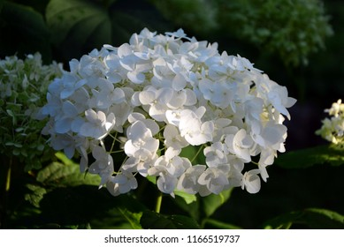 Numerous delicate white hydrangea flowers, gathered in a huge inflorescence, shine in the sun in the garden.