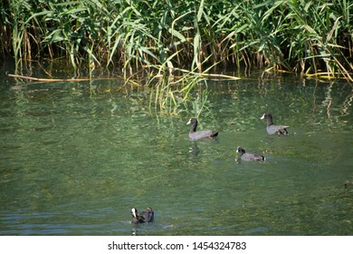 A numerous family of coots floating on the water