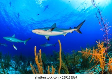 Numerous shark swimming over beautiful soft coral and reef with blue water background