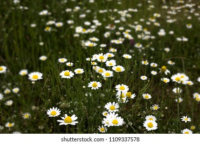 Numerous white sunflowers or camomille are seen in a lush green field. As all the flowers face the sky the sun is at the top and scientist say it is because of the circadian rhythms in them.
