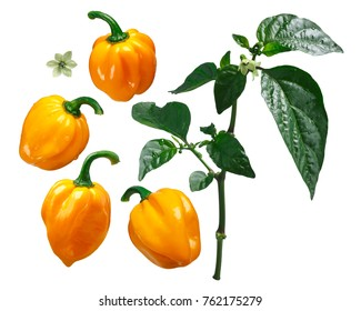 Numex Suave Orange Habanero chile pepper (Capsicum chinense), exploded view (elements). Clipping path for each piece