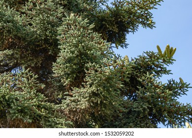 Numidian fir (Abies numidica) or Algerian fir branches with large green female cones on blue sky background in Feodosia city in Crimea. Selective focus