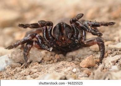 Nuragic spider (Amblyocarenum nuragicus) in defense position (rare endemic trapdoor spider)