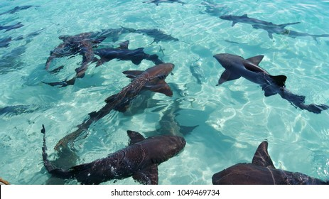 Nurse and reef sharks in the turquoise crystal clear waters of the Bahamas