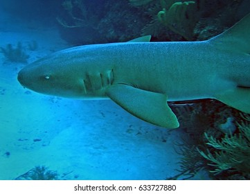 Nurse shark, Ambergris Caye, Belize