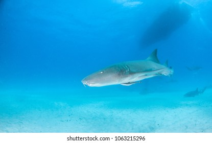 Nurse Shark at Bimini Island, Bahamas