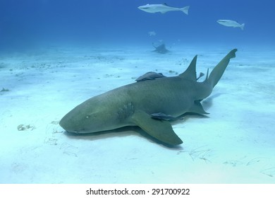 Nurse Shark (Ginglymostoma cirratum) at Bimini, Bahamas