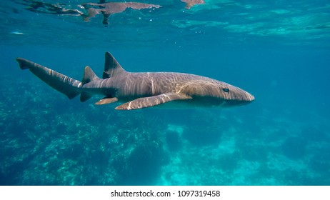 Nurse shark gliding through the warm waters of Belize
