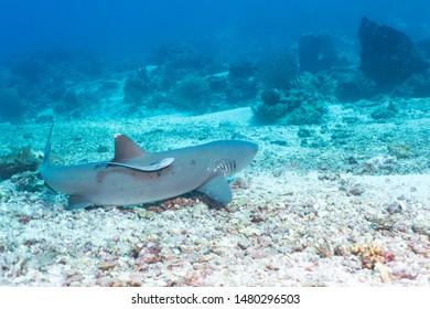 Nurse shark and his friend