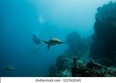 Nurse shark pursued by divers swims toward photographer