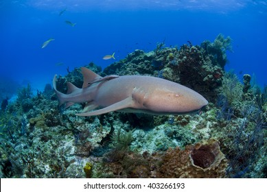 Nurse shark swimming along the reef.