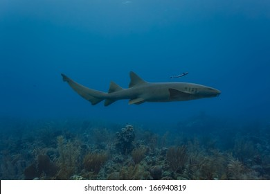Nurse shark swimming on coral reef