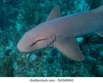 A nurse shark swims along with a remora attached to its eye