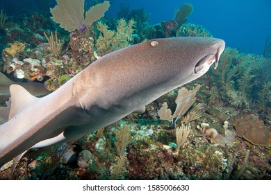 Nurse shark swims through healthy reef with sponges, soft corals and sea fans - Belize Barrier Reef