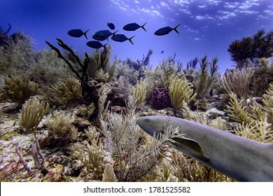 Nurse Shark underwater with other fish in background, Silk Caye, Placencia, Belize
