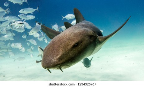 The nurse shark wants to show you its nose. Bimini. Bahamas.