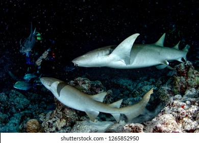 Nurse Shark and yellow pilot fish close up on black background while diving in Maldives