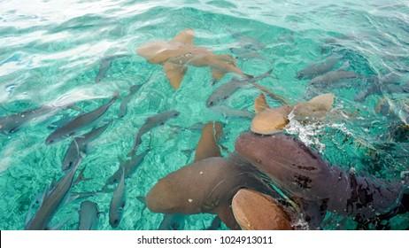 Nurse Sharks in Shark Ray Alley, Belize.