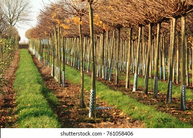Nursery, trees in rows