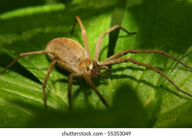 Nursery web spider (Pisaura mirabilis) - Female on a leaf