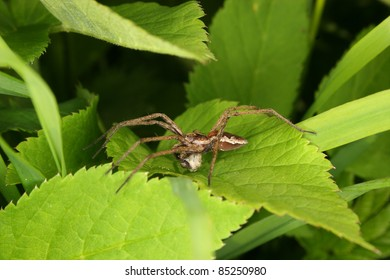 Nursery web spider (Pisaura mirabilis) - male on a leaf, with webbed booty bridal gift