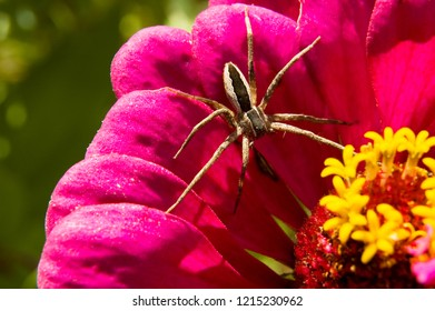 Nursery Web Spider, Pisaurina mira, on Zinnia blossom