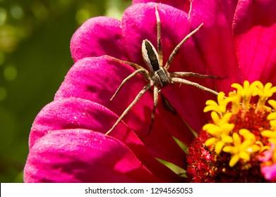 Nursery Web Spider, Pisaurina mira, on Zinnia blossom