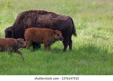 A nursing baby bison stops to stick its tongue out next to its mom while another baby walks by.