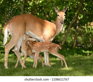 Nursing Fawns at Sunset