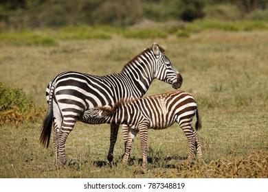 A nursing zebra on Tanzania's Serengeti Plains