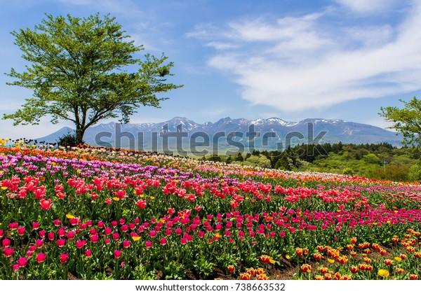 Nusu Flower World's Tulip