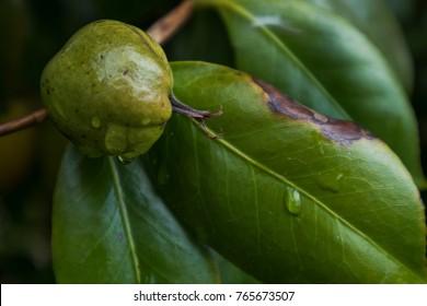 Nut fruit stuck in the tree.