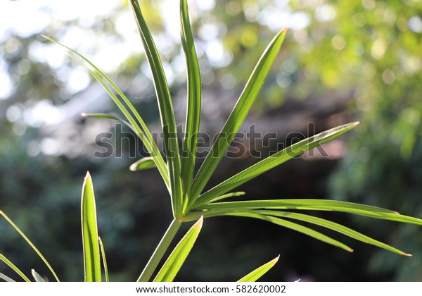Nut grass green leaves decorate the garden