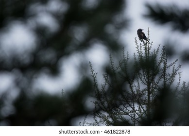 A nutcracker bird sits on a pine tree.