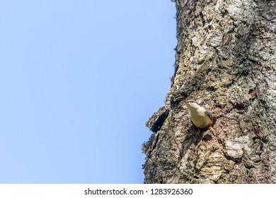 Nuthatch about to fly out of its nesting holes in a tree trunk