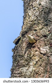 Nuthatch about to fly out of its nesting holes
