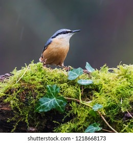 Nuthatch against a dark background. A beautiful nuthatch takes the foreground and stands out against the dark background.