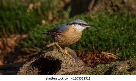 Nuthatch Bird in forest