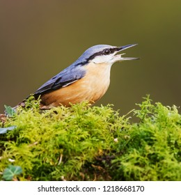 Nuthatch calling. A colourful nuthatch calls out from its position in a patch of moss.