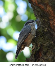 A nuthatch climbing the stem of a cherry tree.