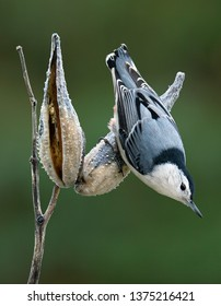 A nuthatch is clinging on to a milkweed pod.