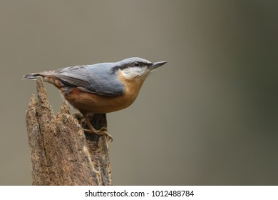 Nuthatch in a forest with a nice background.