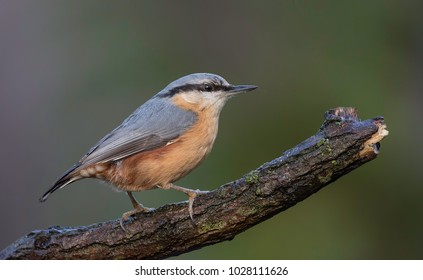 Nuthatch in harmony with a perfect background