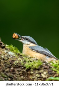 Nuthatch in natural woodland habitat, facing to the left with peanut in beak. Small, colourful bird. Dark, blurred background.  Scientific name: Sitta.  Portrait