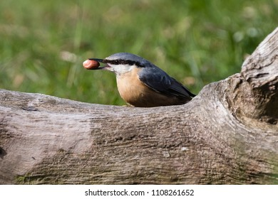 Nuthatch on a branch with a nut in its beak