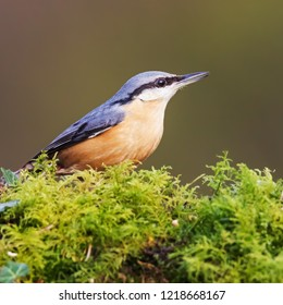 Nuthatch on moss. A lovely little nuthatch is seen standing in a patch of moss.