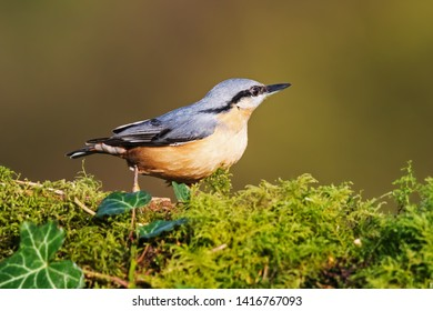 Nuthatch on moss. A lovely little nuthatch is seen standing on mossy ground.