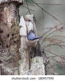 Nuthatch on tree bark